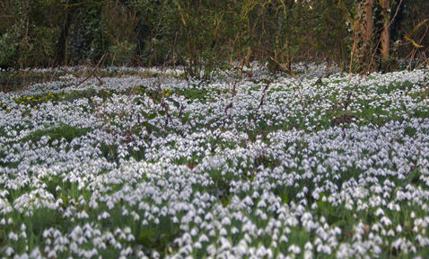 Snowdrops at the site of original Londesborough Hall/Arnold Underwood/Feb 2010